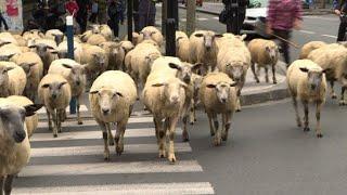 Mais que font ces moutons en ville ?