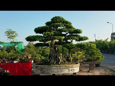 SH.1746.Cây cảnh Nghĩa Hưng tại triển lãm Nam Định.