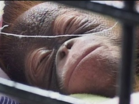 RARE NEWBORN ORANGUTAN: Treated like a baby in Indonesia zoo