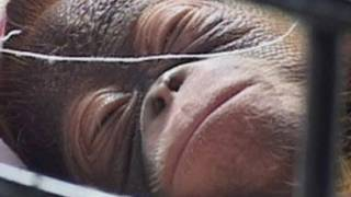 RARE NEWBORN ORANGUTAN: Treated like a baby in Indonesia zoo