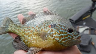Bass Fishing With Live Bluegill!