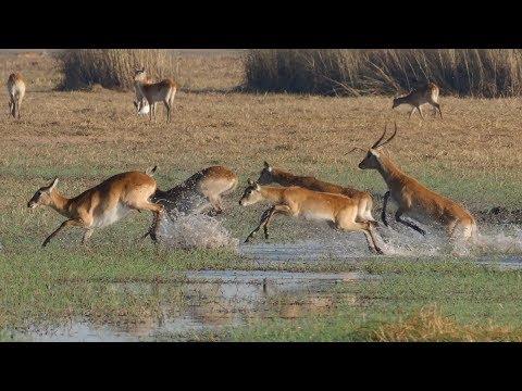 'Land of Leaping Lechwes'  Fantastic Wildlife Safari in Busanga Plains and Kafue, Zambia 2018 (4K)
