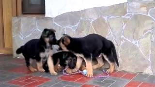 Продаётся радость в дом!Щенки немецкой овчарки 2 мес Одесса