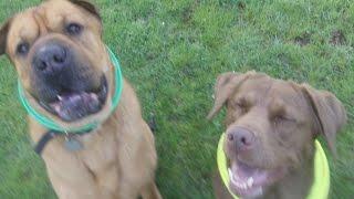 Shar-pei Alfie & Labrador Frankie.