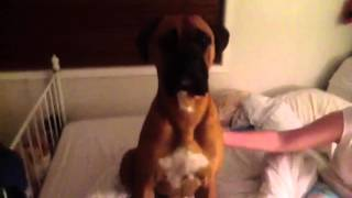 Boxer X Bullmastiff 9months Old Giving Mummy Kisses