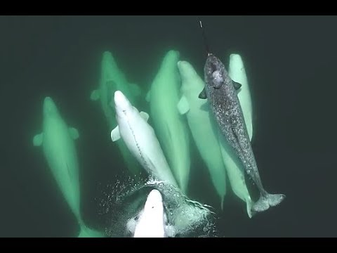 Lonely Narwhal Gets Adopted By Whales