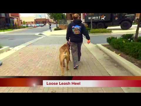 1.5 yr old Boerboel 'Zeus' |Boerboel Dog Trainers in Maryland/DC Area| OLK9MD