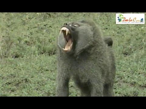 ガゼルを食べるバブーン(アヌビスヒヒ)【閲覧注意】 Wild Animals in Africa / Baboon hunted gazelle.