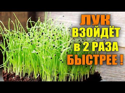 Вопрос: Как быстро прорастет семечка лука, как ускорить этот процесс?