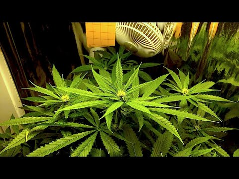 Cannabis Flower Time-lapse (Stretch Period) - Day 45-82