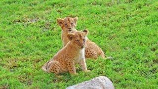 2 nuevos cachorros de león en el kopje de Bioparc Valencia