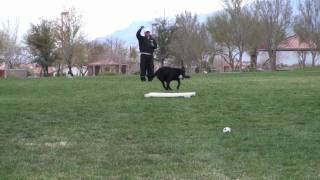Labrador Retriever Dog Training - Teaching A Dog To Run Straight