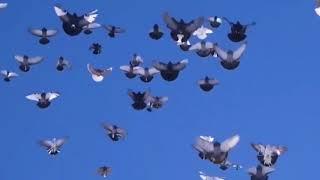 любови и голуби | голуби узбекистана | смотреть онлайн в хорошем качестве