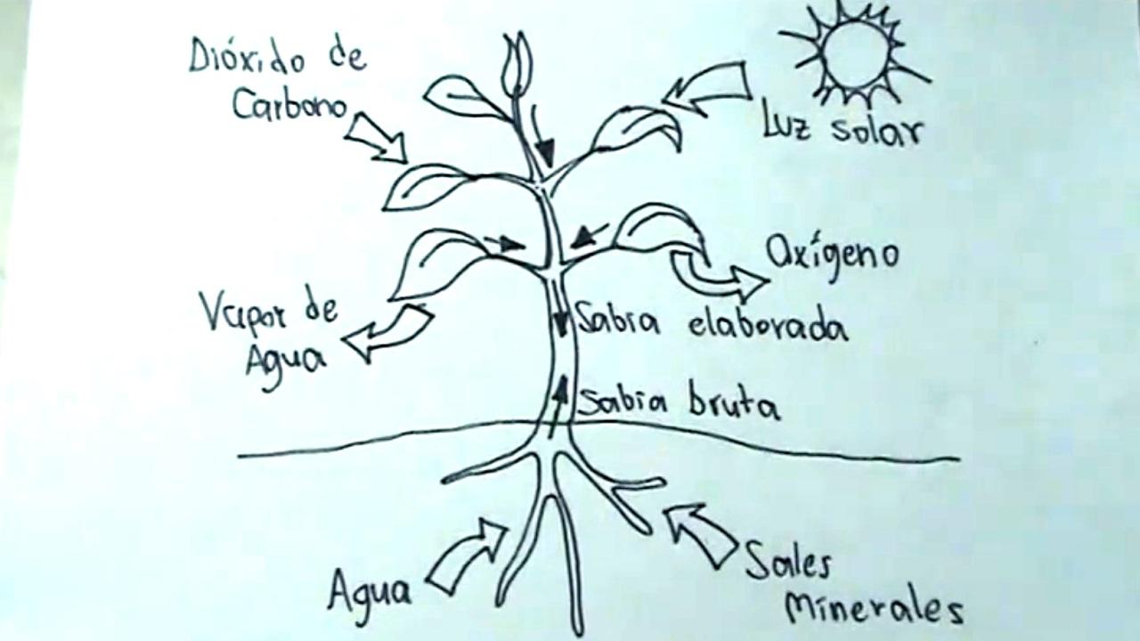Ciencias Naturales 35 Cómo Dibujar La Fotosíntesis En Una Planta