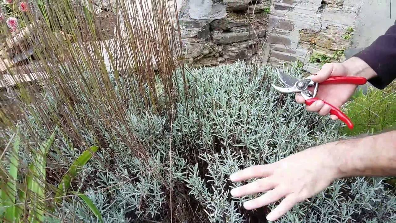 How Do I Prune Lavender Youtube