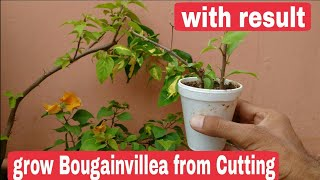 How to grow bougainvillea from cutting, propagate Bougainvillea from Cutting
