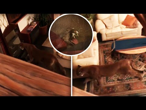 Woman Drives Cougar Out of Her House With Bongo Drums