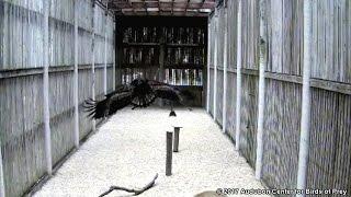 aef nefl eagles peace flies to upper perch 03 08 17