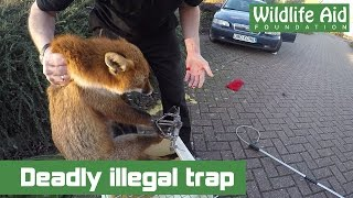 Deadly illegal trap and wildlife rescuer bitten!