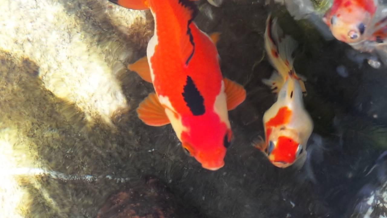 Poisson Rouge Bassin Extérieur voiles de chine en bassin extérieur. aquaponie