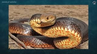 5 Najbardziej jadowitych węży świata | SpinkaFun