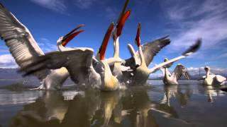 Krauskopfpelikan, Dalmatian Pelican