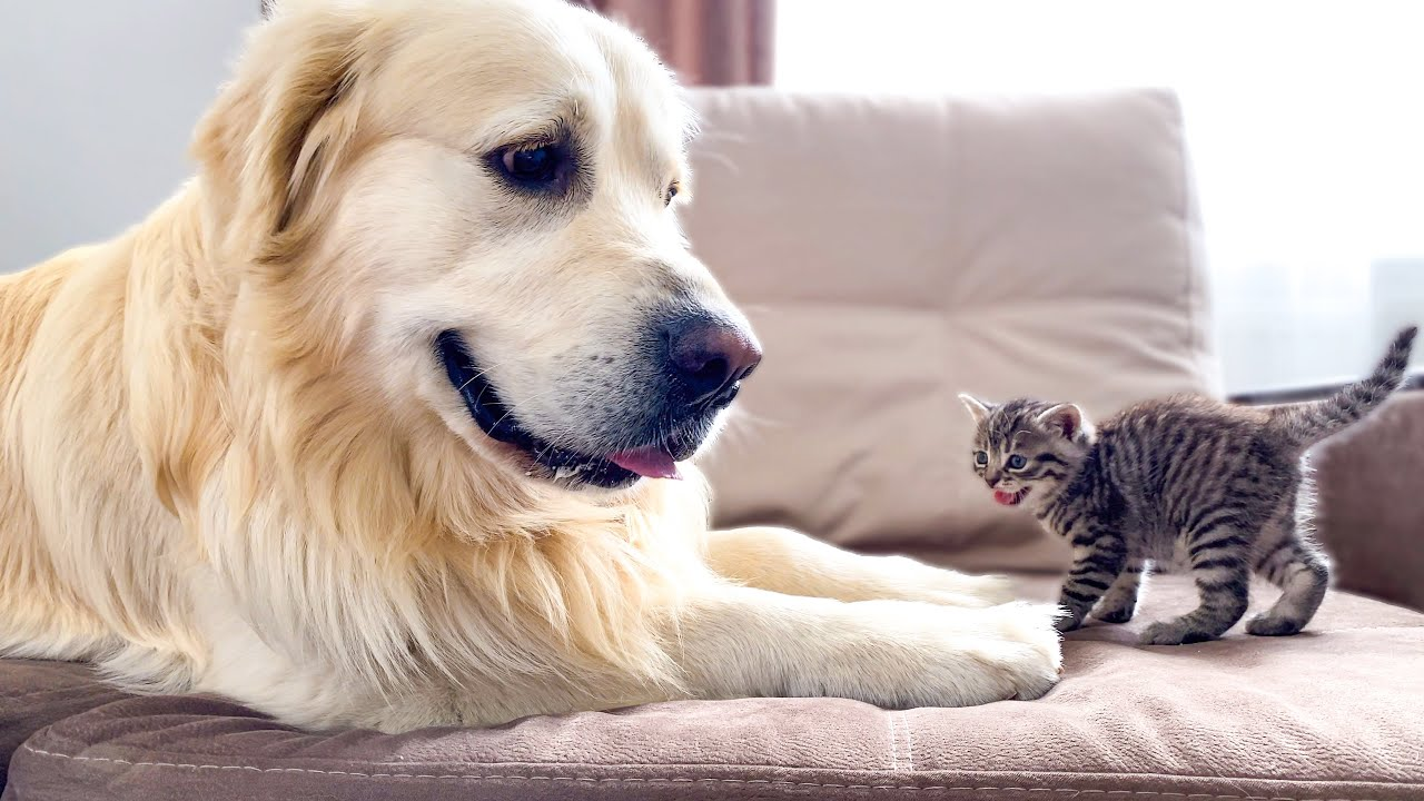 Golden Retriever Confused by Meeting a Baby Kitten