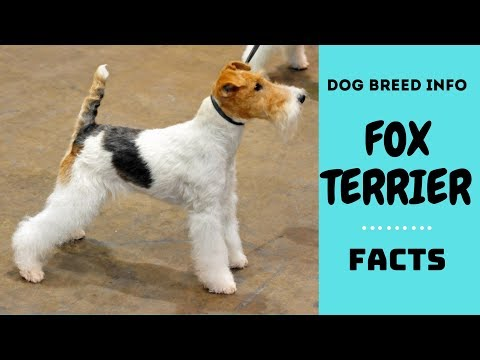 Fox Terrier dog breed. All breed characteristics and facts about Fox Terrier dogs