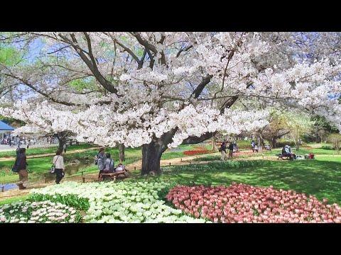 2018.03.31 昭和記念公園の桜  Flower Festival 2018  / Showa Kinen Park :   Cherry Blossom