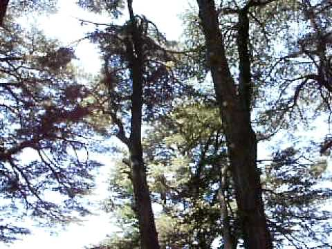 Cedars (Ariz) 5 000 years old trees in Lebanon at 2500 m attitude