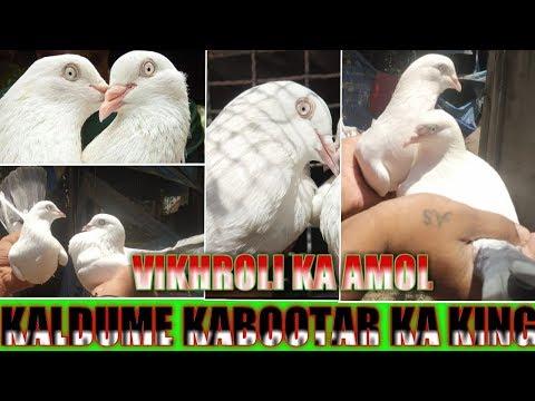 HIGH FLYER PURE KALDUME KABOOTAR AMOL BHAI KE HD
