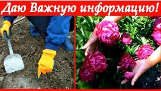 Уделите пионам внимание ранней весной-получите пышное майское цветение!!!