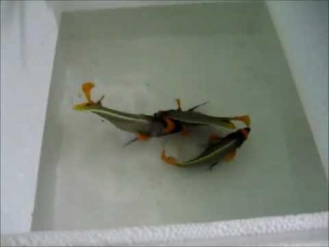 Importação de Peixes da Indonésia - Aquarium Group