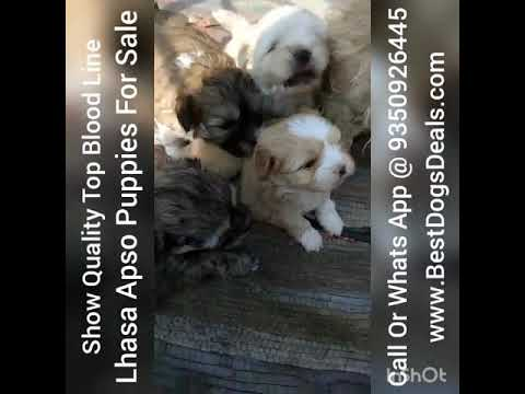 Lhasa Apso Puppies For Sale In Delhi NCR Gujrat Rajasthan Uttar Madhya Andhra Pardesh Ahmedabad Sura