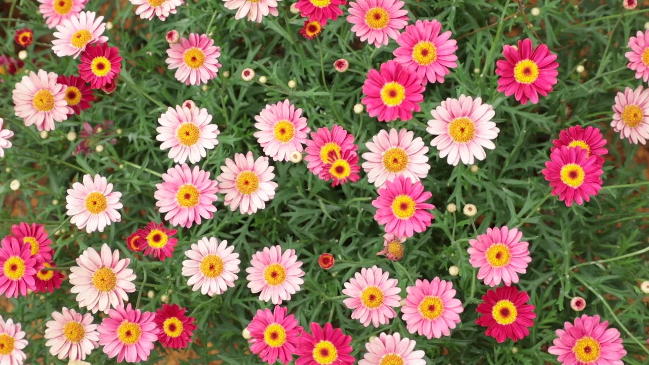 Marguerite Daisy Flowers Pink Red Hd Stock Footage Youtube