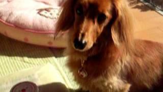 我が家の愛犬『くるみ』です。 くるみの食いしん坊度はどれくらいでしょ...