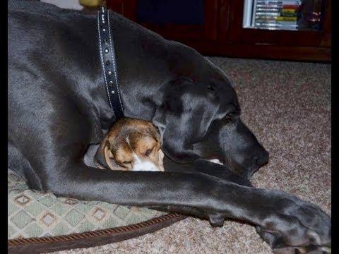 Beagle puppy attacks g...