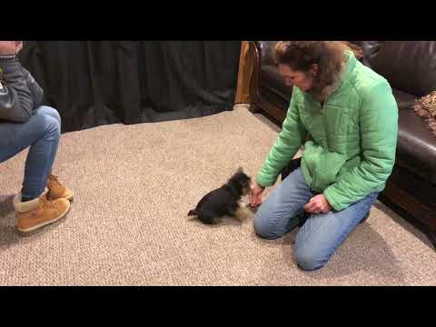 Dream Dog 'No Name' 10 Wks Old Norwich Terrier Early Puppy Training