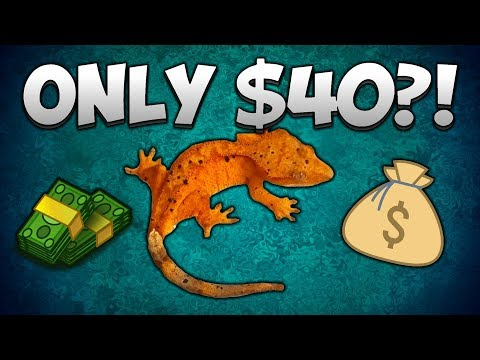 $40 Crested Gecko Vs $250 Crested Gecko! Why Price Isn't Everything