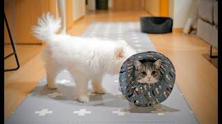 [petlog 15] #먼치킨 #고양이 #중성화 이후에 고깔 목카라를 하면 안되는 이유 feat 아빠의 요리 - 차돌박이 굴 솥밥