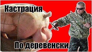 Кастрация свиней /Деревенская жизнь