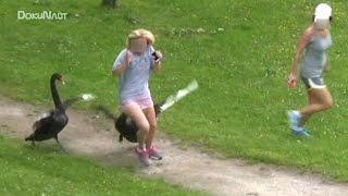 Schwan-Attacken (Part27) Schloss Ringenberg - angry swan attacks