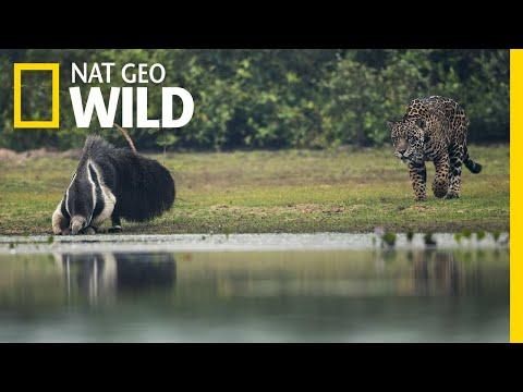 Enfrentamiento entre un jaguar y un oso hormiguero termina con un giro inesperado