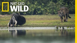 Jaguar and Giant Anteater Standoff Ends With a Twist | Nat Geo Wild