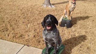 Dudley German Wirehaired Pointer Training W Distractions Claremore Ok