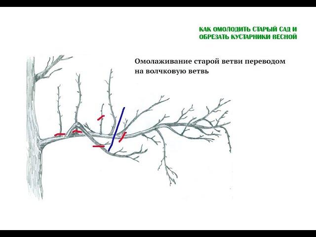 Как омолодить старый сад и обрезать кустарники весной. Полная версия вебинара Николая Рабушко. ©