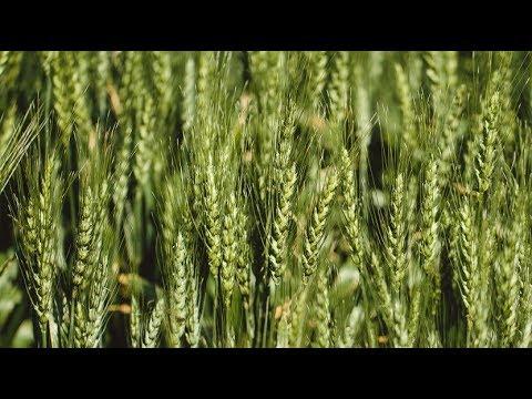 गेंहू की दोगुनी उपज के लिए करें इस तरीके से बुवाई Part-2॥ Best method to boost wheat yield