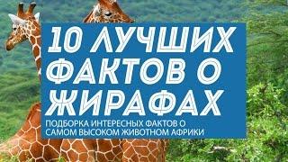 10 фактов о жирафах - самых высоких животных мира