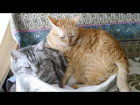 ベッドが小さすぎて困った顔の猫