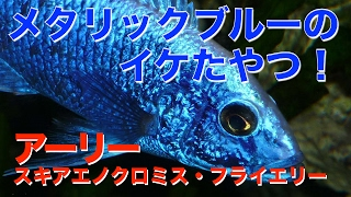 【熱帯魚・アフリカンシクリッド】 アーリー(スキアエノクロミス フライエリー) (Aqupedia)